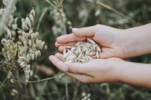 Plantas de cereales recien recogidas ExploraAvila